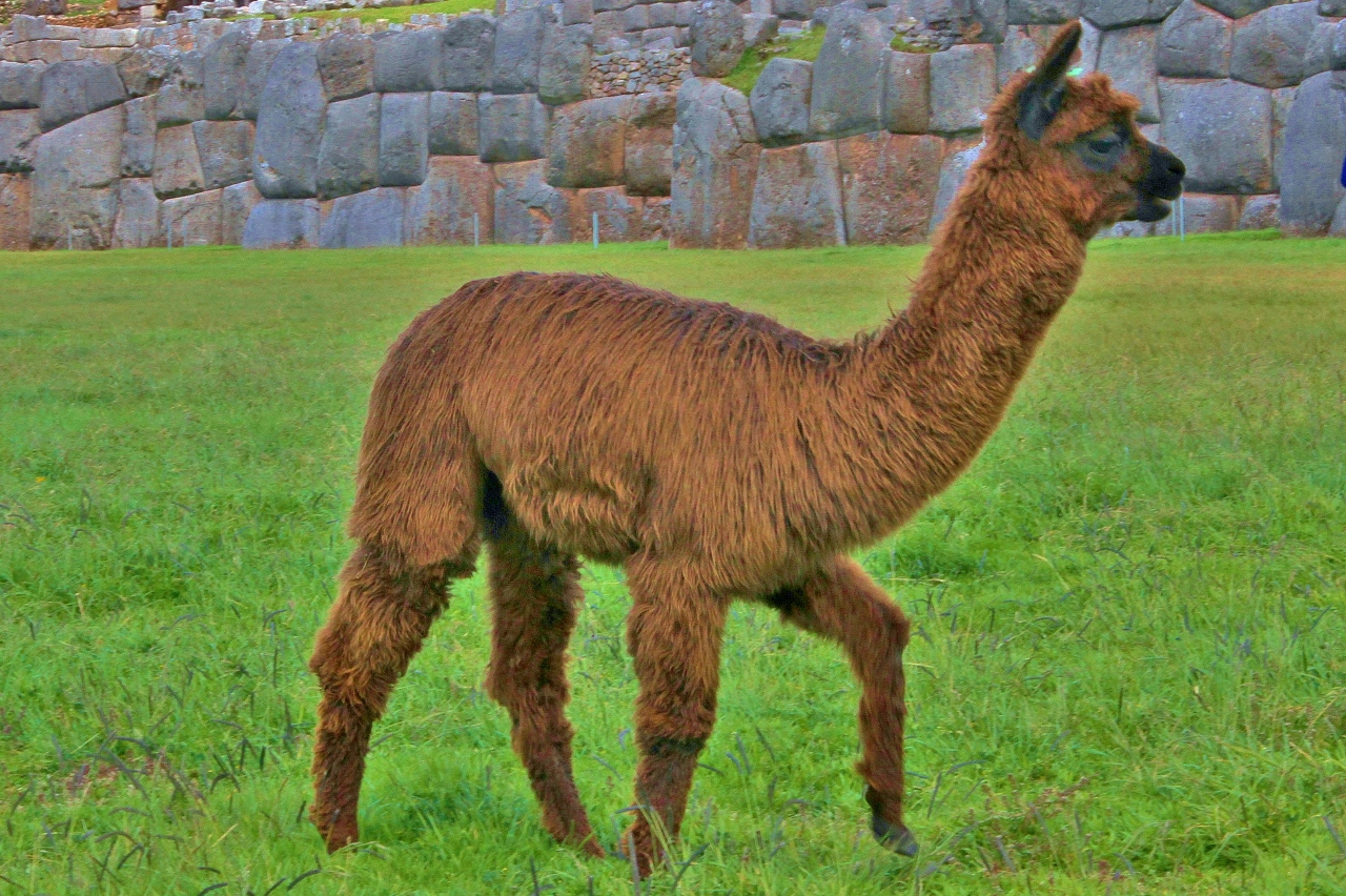 Baby llama. Cute, fluffy, and quite tasty when you're in a pinch