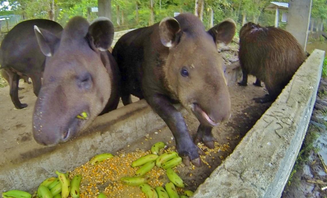 Tapir table manners