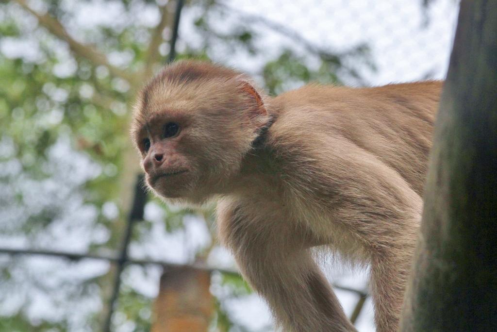 Capuchin7 (1024x684).jpg
