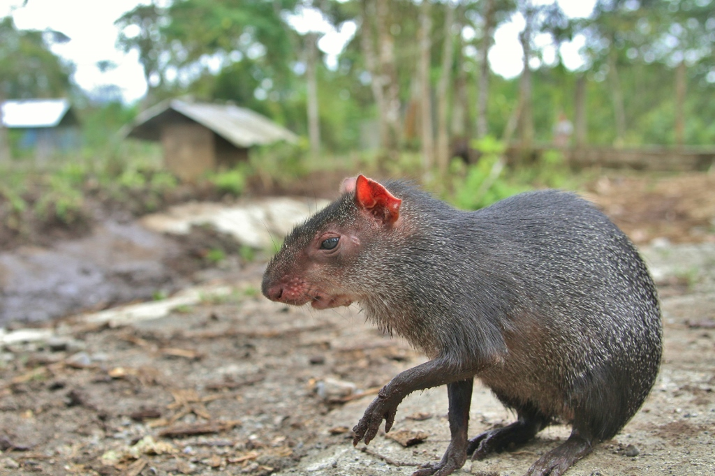 Agouti wit a booty