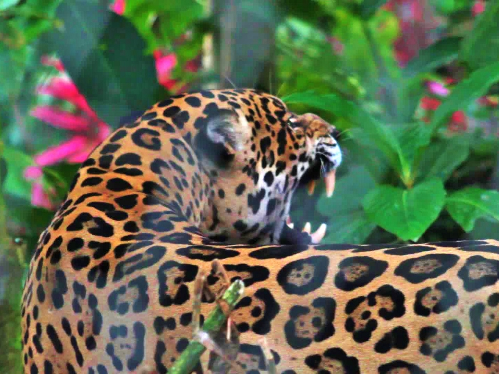 Precioso the Jaguar