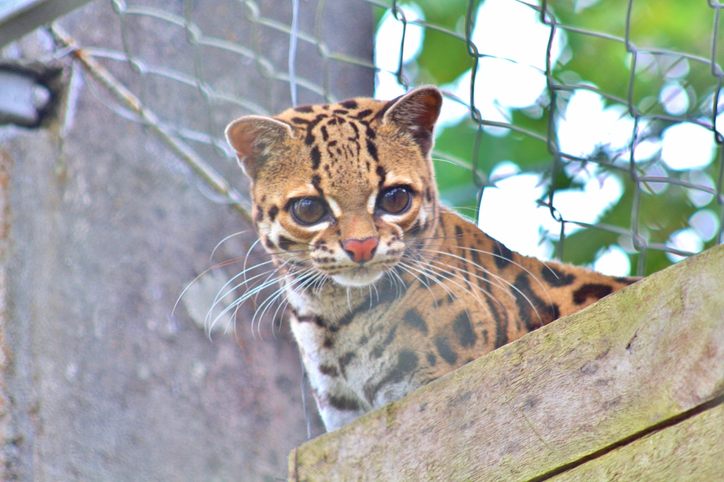 Deceitfully innocent-looking Margay