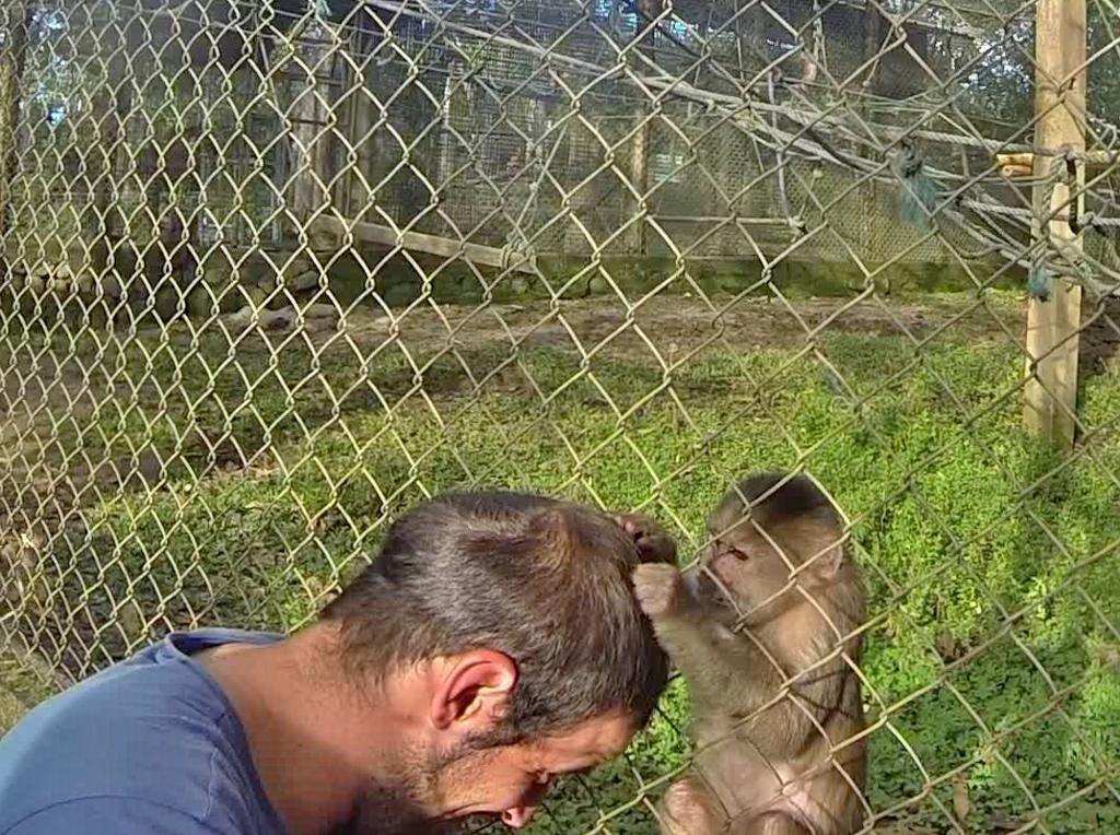 Agustín and Jacky the Capuchin alpha male