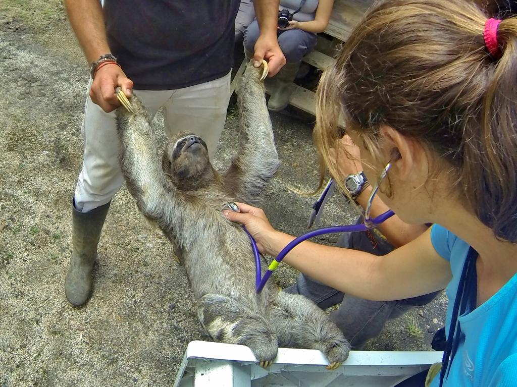 Maria taking the vitals of a Three-toed Sloth