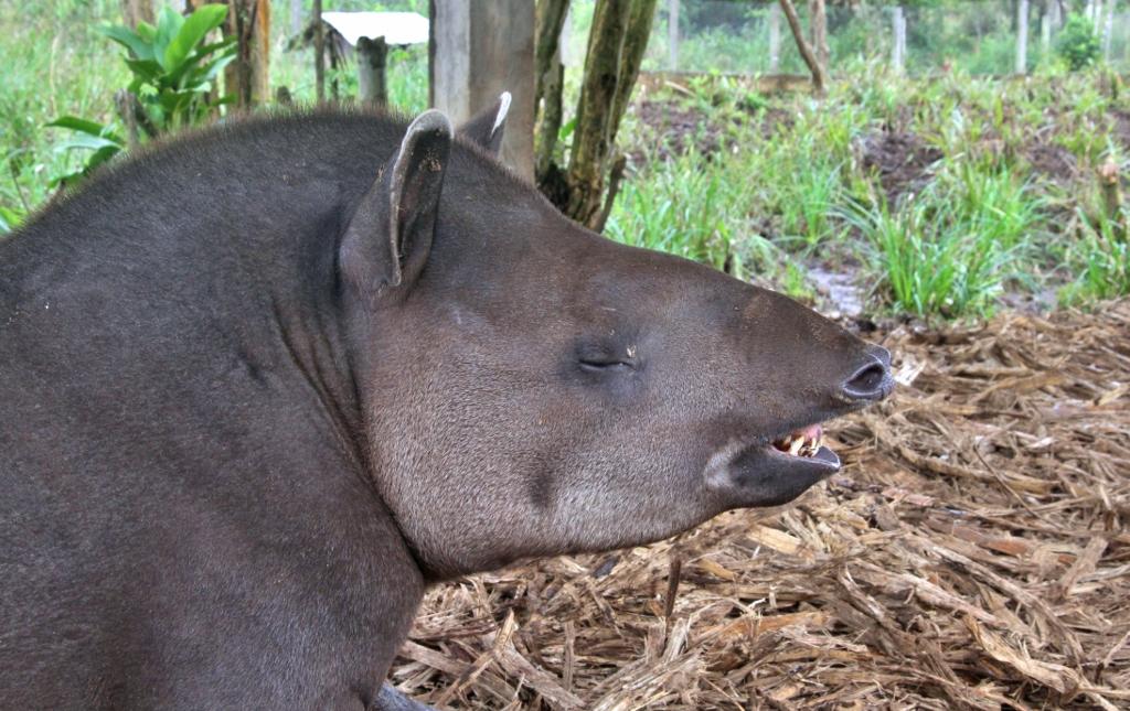 Tapir cheesin'