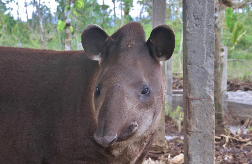 Rosethe Tapir