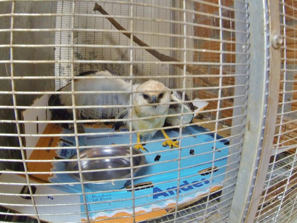 Injured White Hawk in the vet clinic