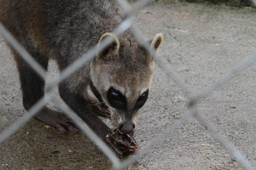 Crab-eating Raccoon