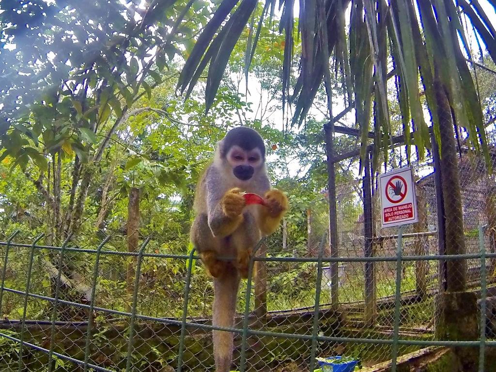 Squirrel Monkey / big moocher