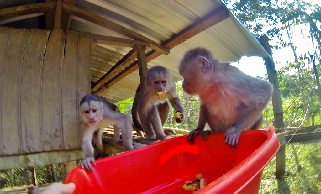Hungry Capuchin Monkeys