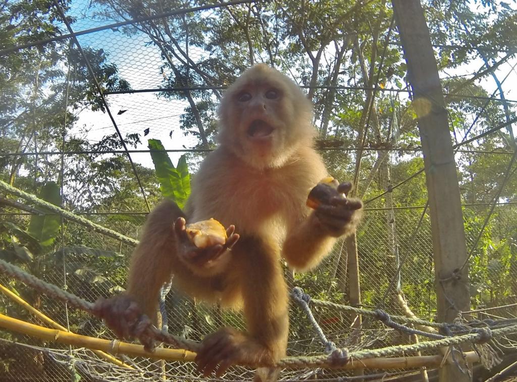 Carlitos the Capuchin Monkey