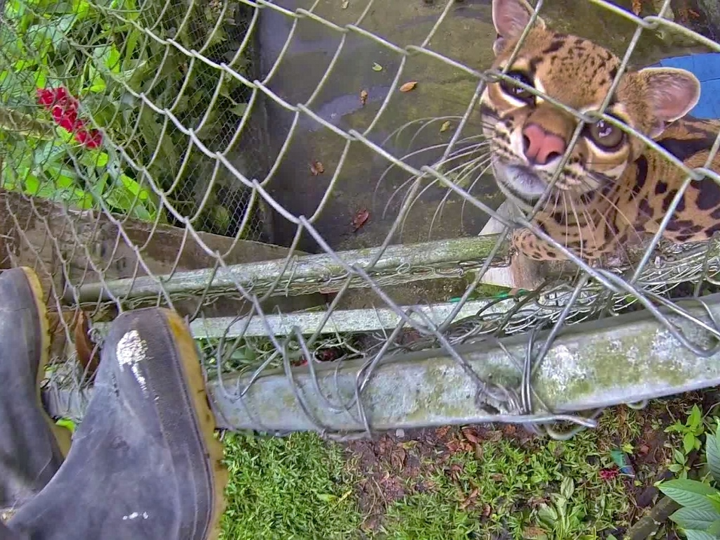 Psychotic Margay is as small as a housecat