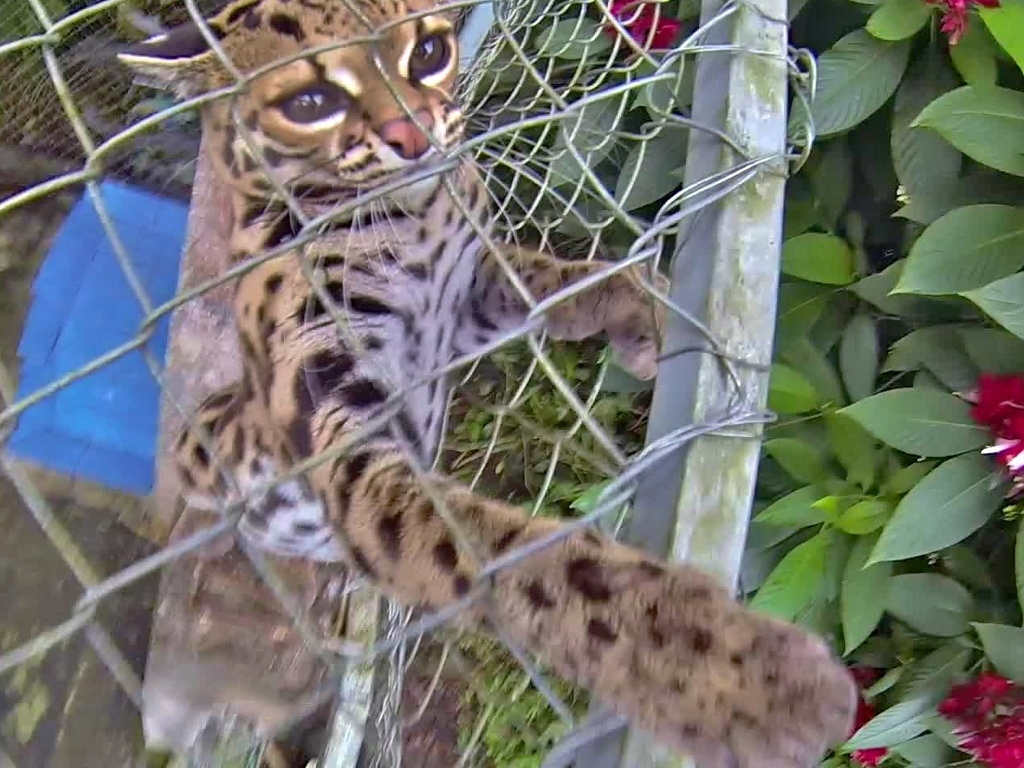 """Psychotic Margay's favorite game is """"Turn Your Skin Into Confetti"""""""