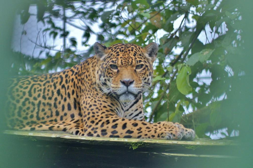 Brenda the Jaguar