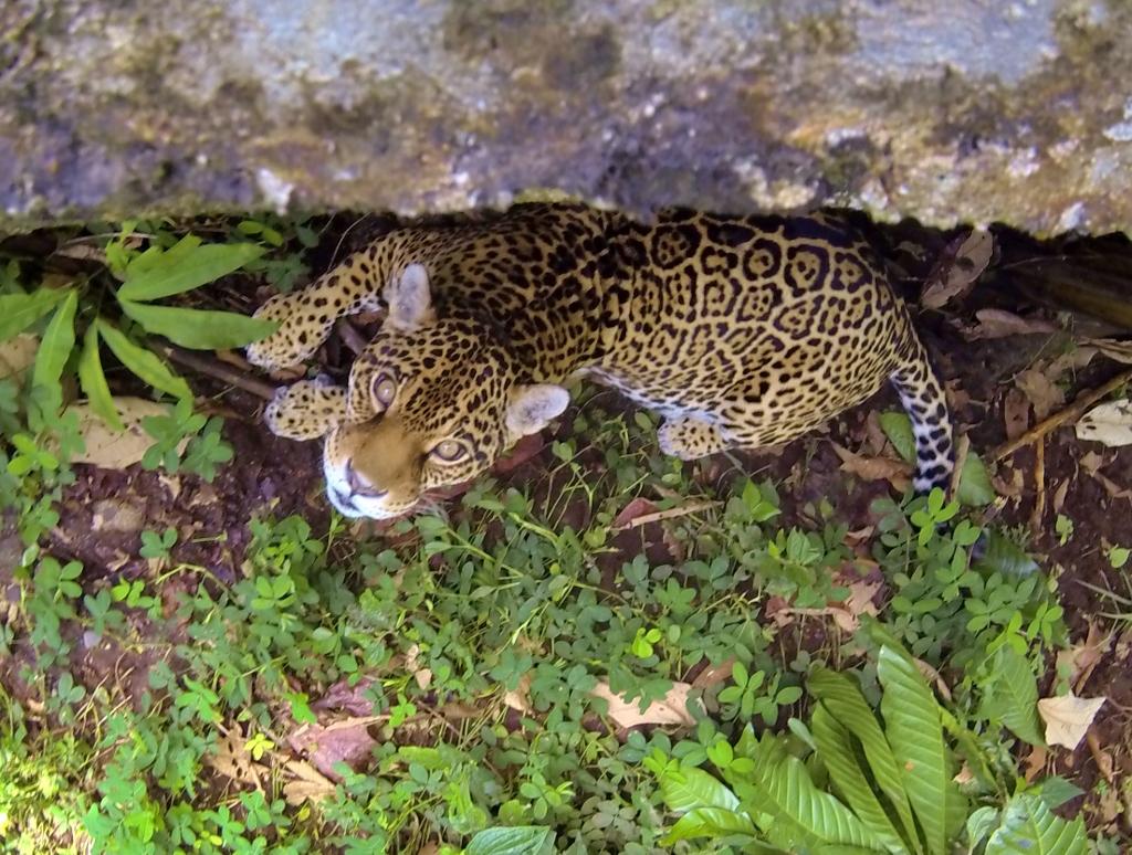 Brenda the Jaguar a.k.a. my new gf