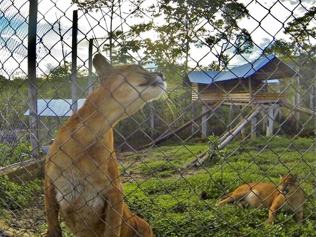 Shakira the Puma and her cub