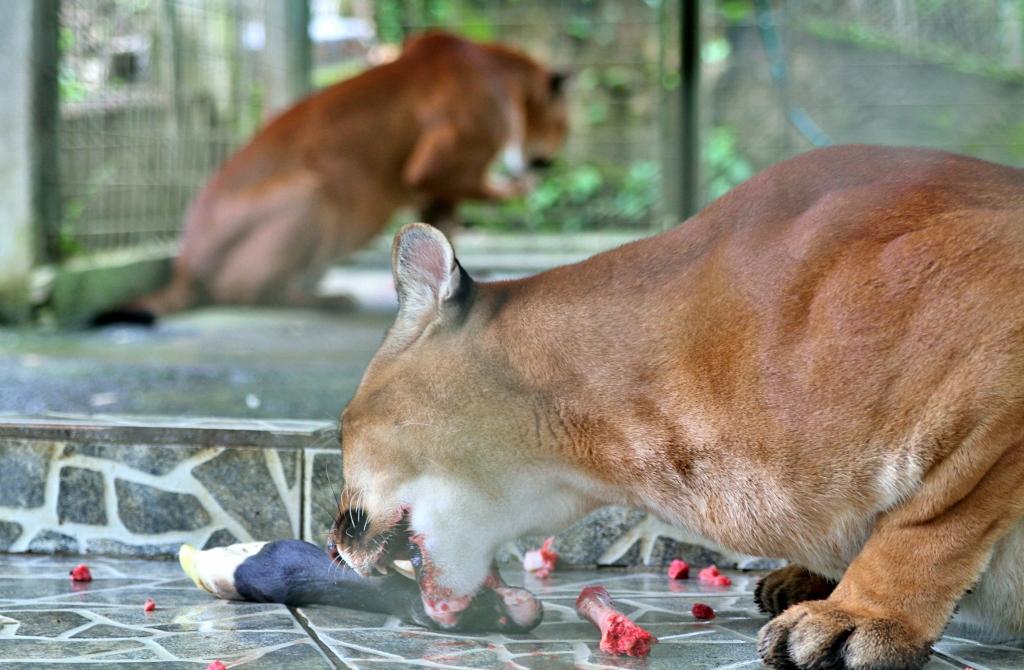Puma feeding time