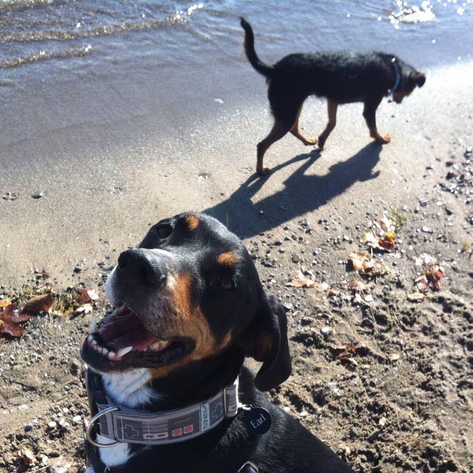 The gorgeous Earl, wearing our NES collar at the beach!
