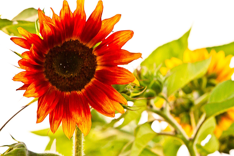 sunflow3-sm.jpg