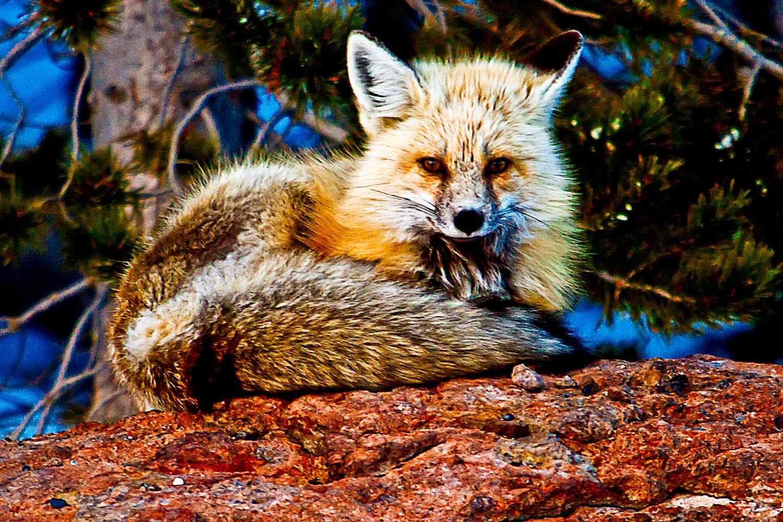 fox1b-sm.jpg