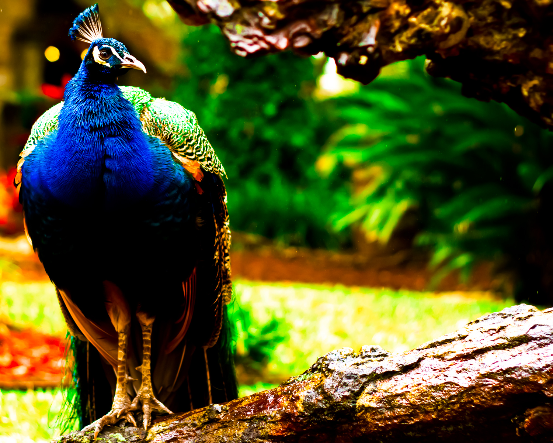peacock3b-sm.jpg