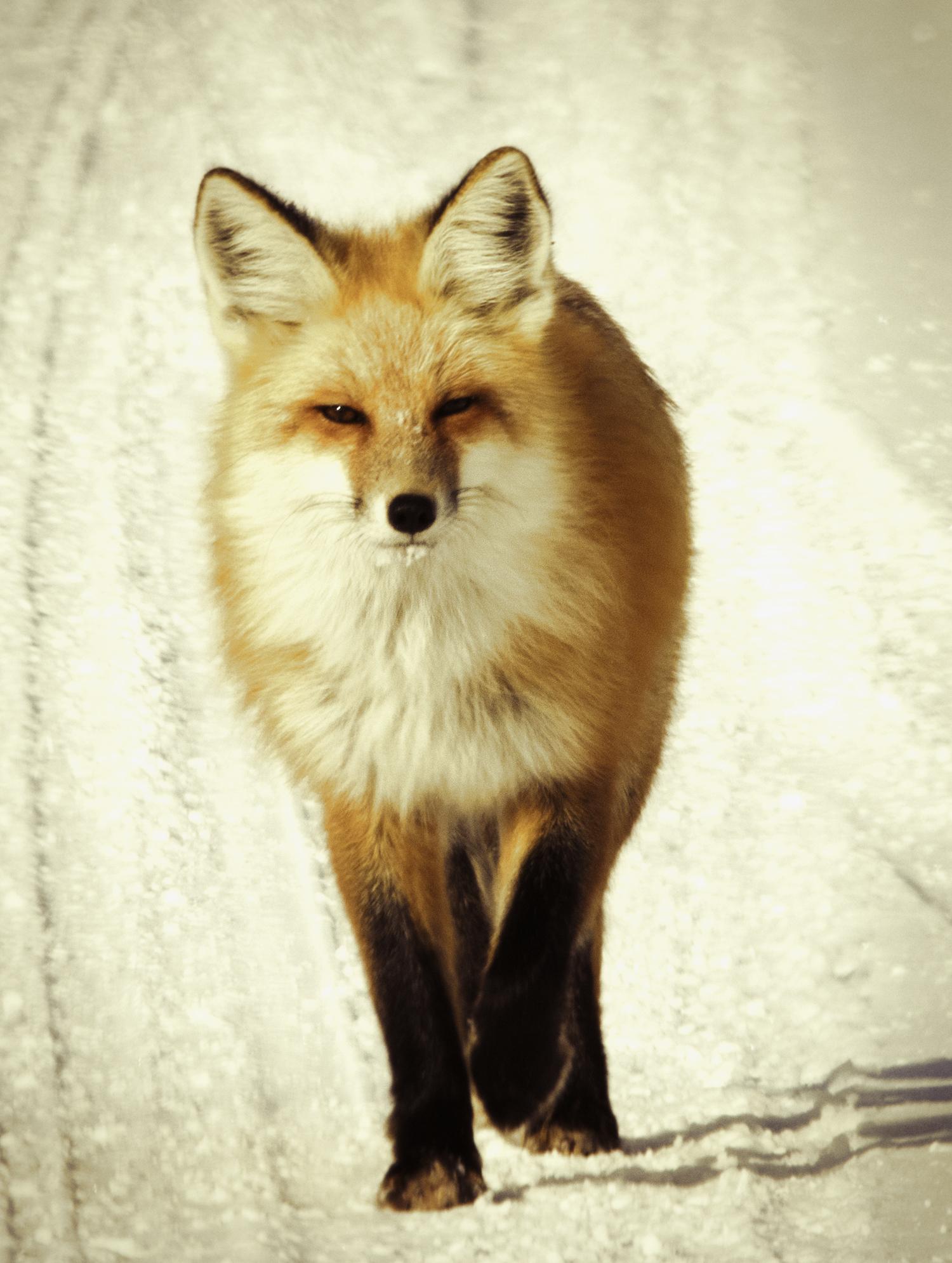 Teton Fox