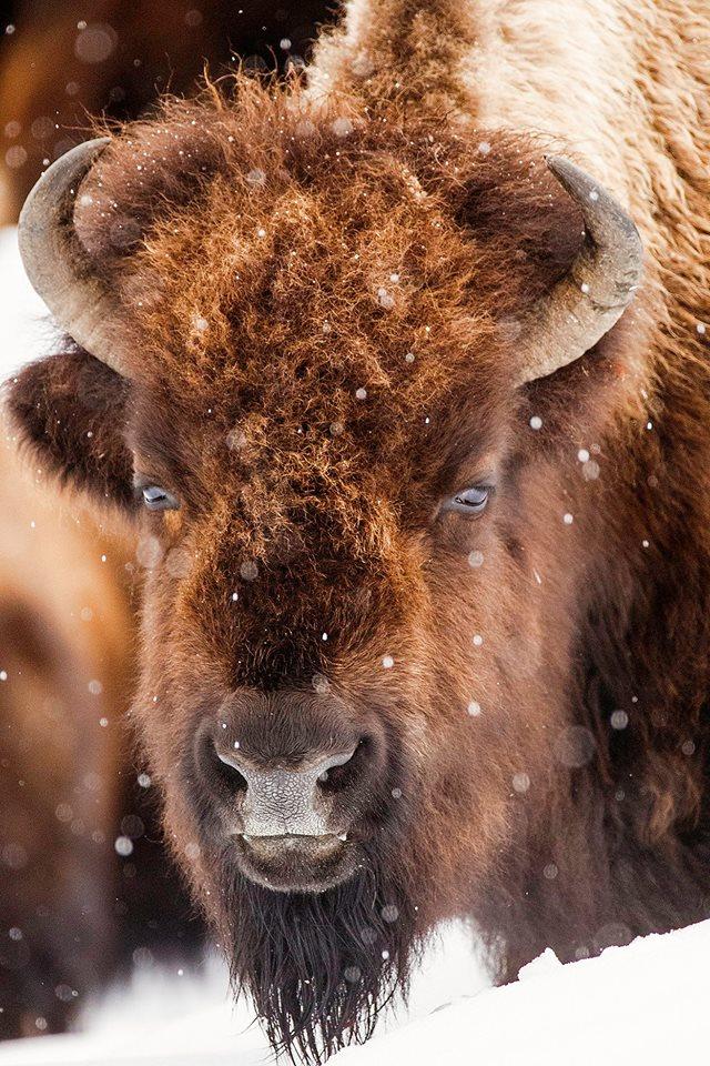 Buffalo in the Snow