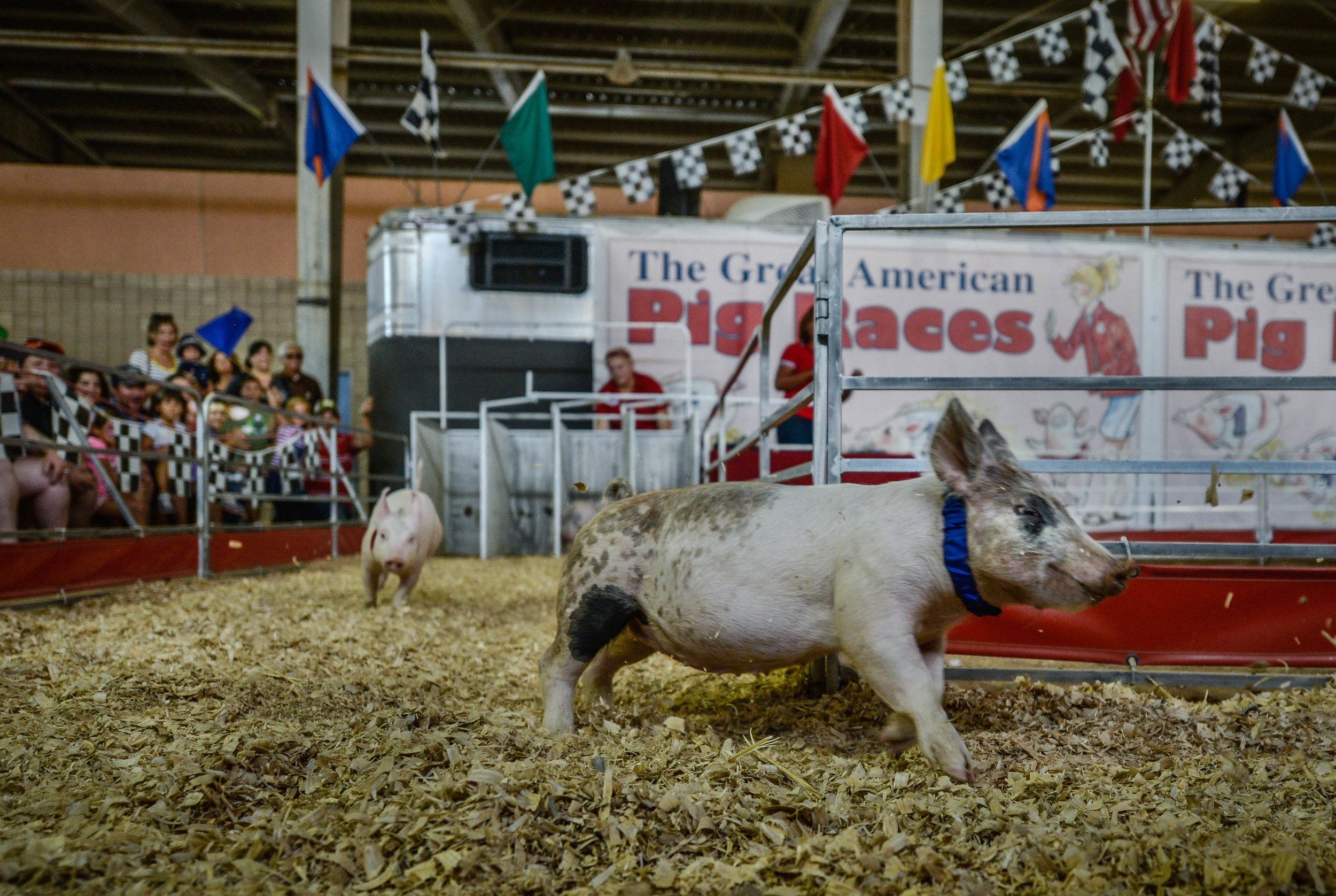 The Great American Pig Races