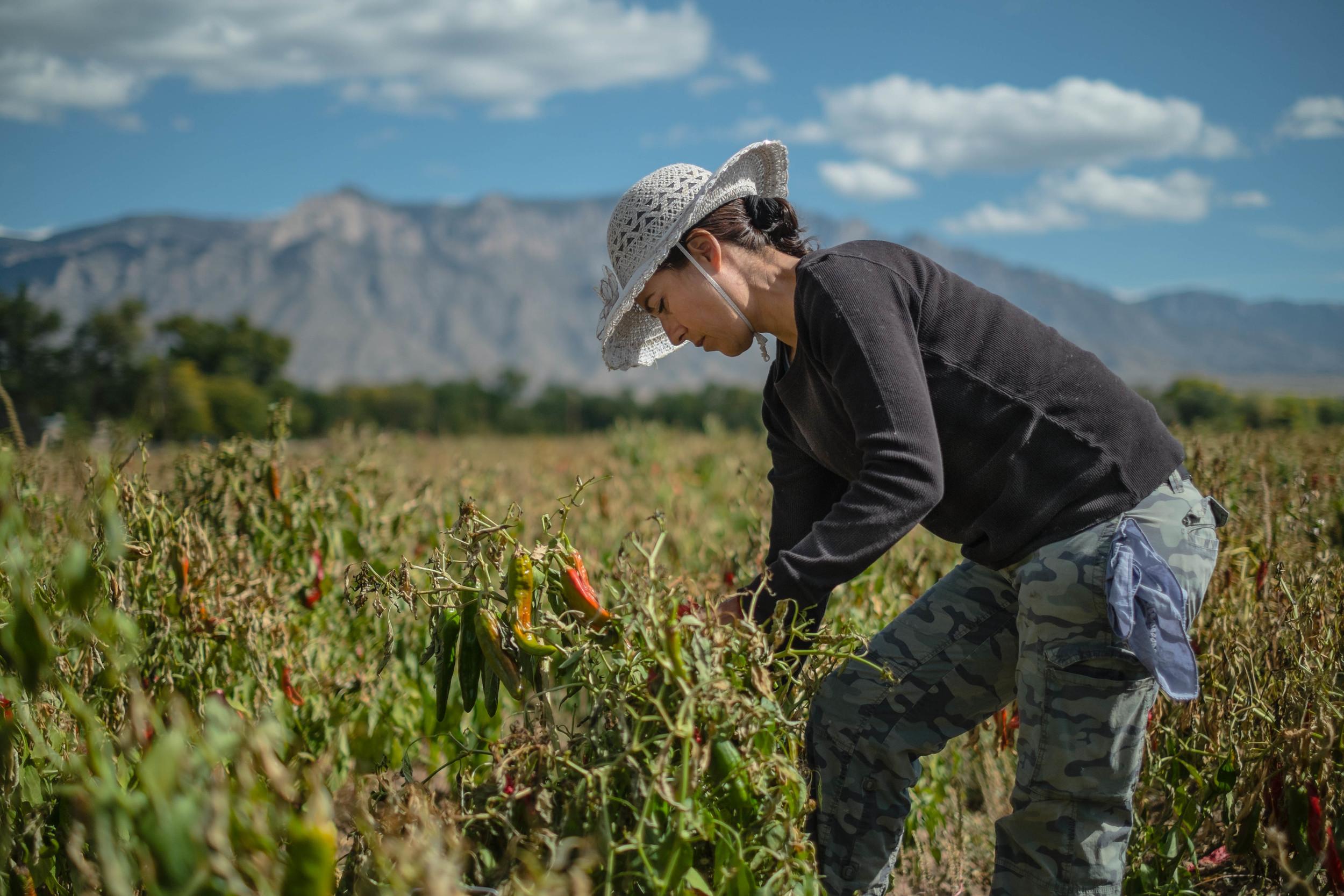 Leticia Orduno harvests chile in Corrales, New Mexico