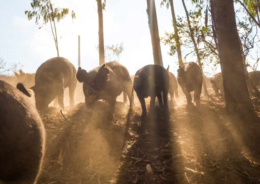 Hogs at Early Bird Ranch. Photo by: Jonathan Fong.