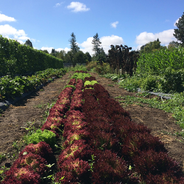 Lettuce fields @ Beet Generation Farm .jpg