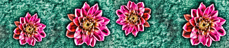 Dahlia Love | Seed Plant Water Grow