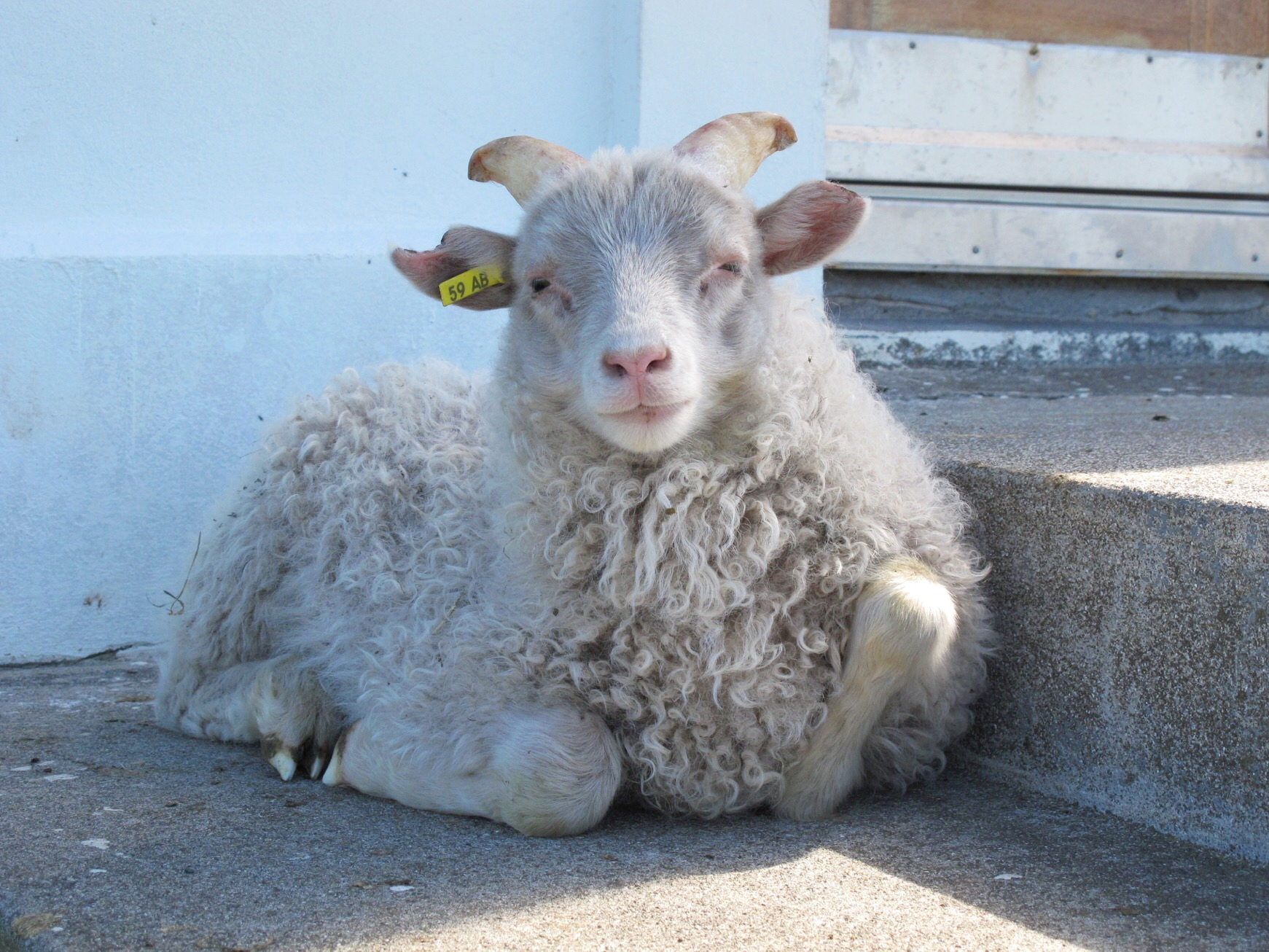An adorable Icelandic sheep snoozing on the steps of Flateyjarkirkja.