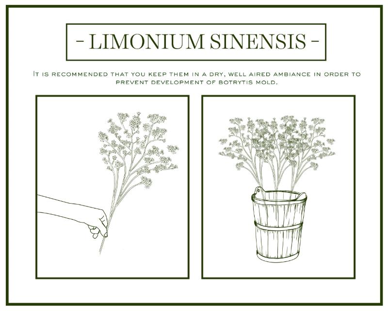 Limonium-care-handling