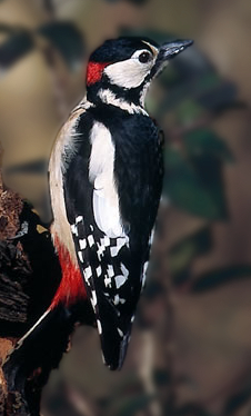 Greater Spotted Woodpecker.jpg