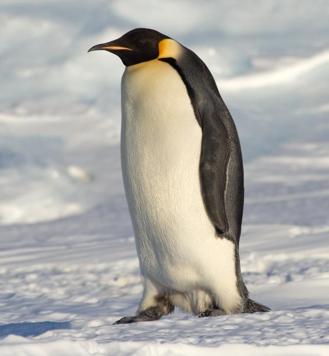 Emperor_Penguin_Manchot_empereur.jpg