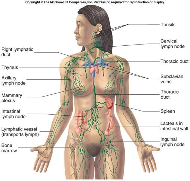 lymphatic-system esp.jpg