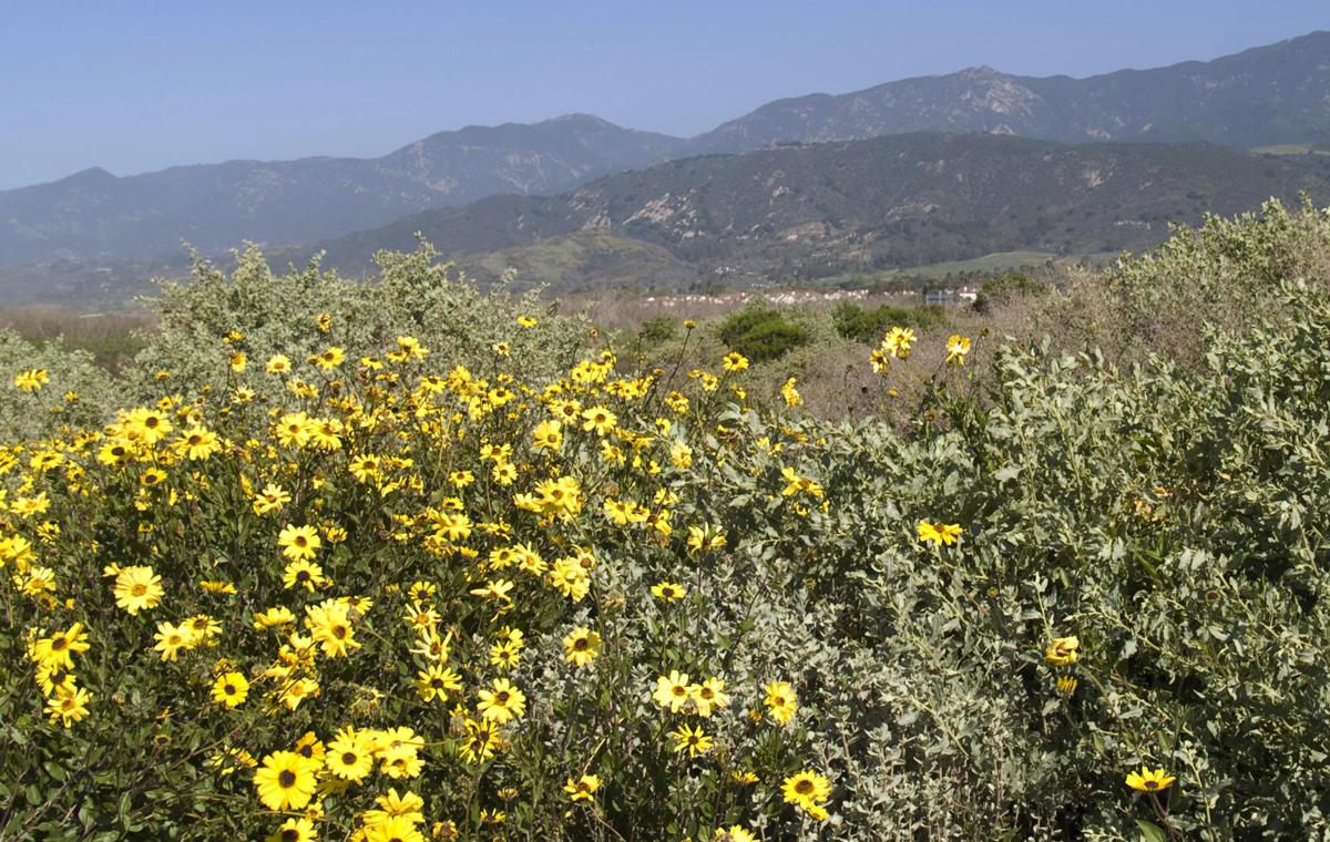 Native plants restoration, Carpinteria salt marsh, Land Trust for Santa Barbara County.