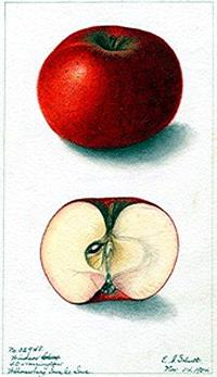 Botanical-Fruit-Apple-4.jpg