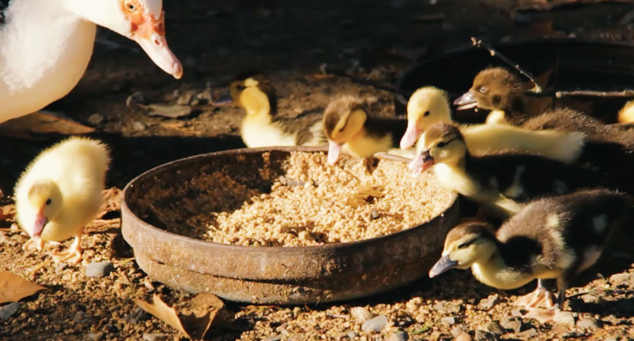 The permaculture farm is also an animal sanctuary Photo Credit: Natural Vegan