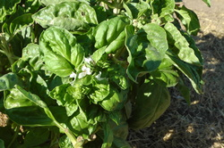 All About Basil by Annies Place To Learn