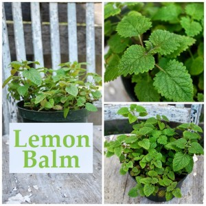 Using Lemon Balm by Oak Hill Homestead
