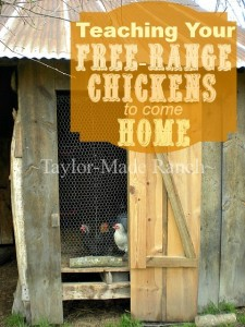 Teaching Free Range Chickens to Come Home by Taylor Made Ranch