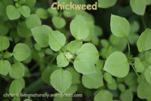 he Wonderful World of Edible & Medicinal Weeds – Chickweed by Christie Living Naturally