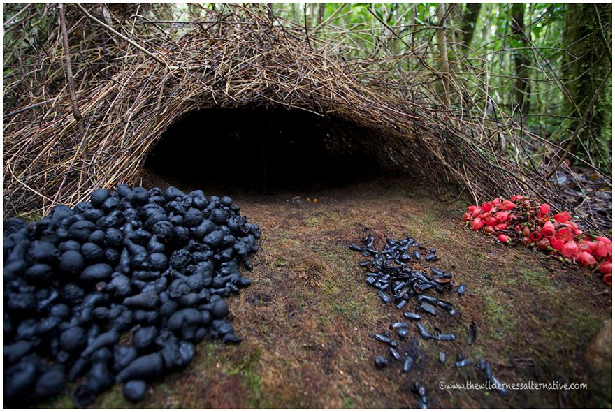 Bowerbird nest design,  Image via The Wilderness Alternative  via Inhabitat