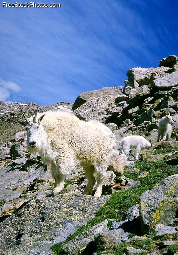 MountainGoat3.jpg