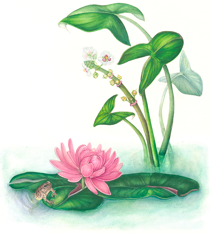 LILY POND   Botanical Illustration in Watercolor