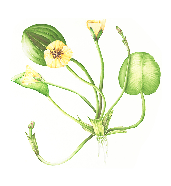 WATER POPPY   Botanical Illustration in Watercolor