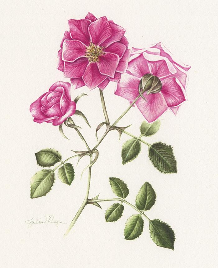 TEA ROSE   Botanical Illustration in Watercolor