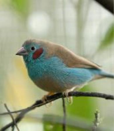 Red-checked Cordon Bleu Waxbill  (Uraeginthus bengalus)